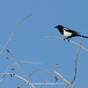 Magpie | Magpies are passerine birds of the crow family, Corvidae.