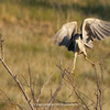 Black-crowned Night Heron | 02 | Secret Spot | Aurora Colorado | 2012