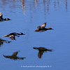Hooded Merganser's (Two males and one female) in flight at the Secret spot | Aurora CO