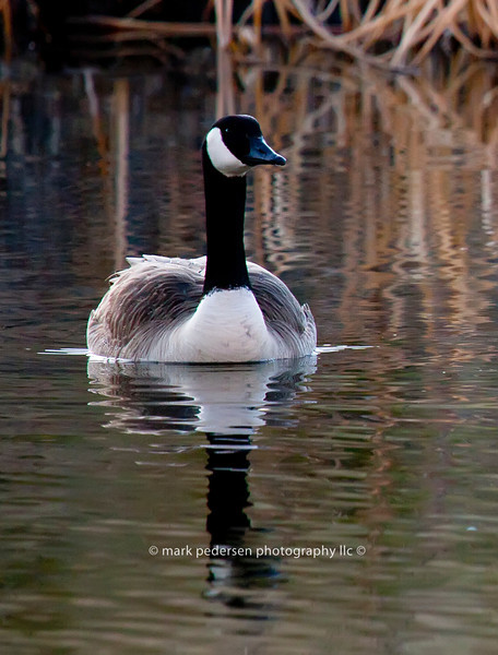 Male Lesser Canada Goose | Secret Spot | Aurora CO