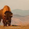American Bison (Plains Bison) | Colorado | Image 1