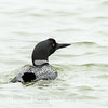 Common Loon 29 April 2019-6871