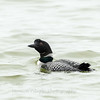 Common Loon 29 April 2019-6877