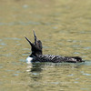 Common Loon 16 April 2019-2812
