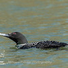 Common Loon 16 April 2019-3035