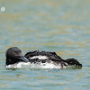 Common Loon 16 April 2019-3024