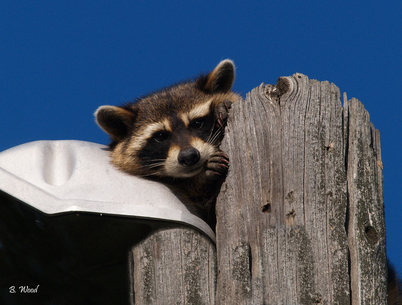 """PL 07JU0259<br /> <br /> Common Raccoon (Procyon lotor).  Also known as the Northern Raccoon, or Coon, is a widespread, medium-sized, omnivorous mammal native to North America.<br /> <br /> Raccoons are commonly associated with washing their food. Their latin name, lotor, means """"the washer."""""""
