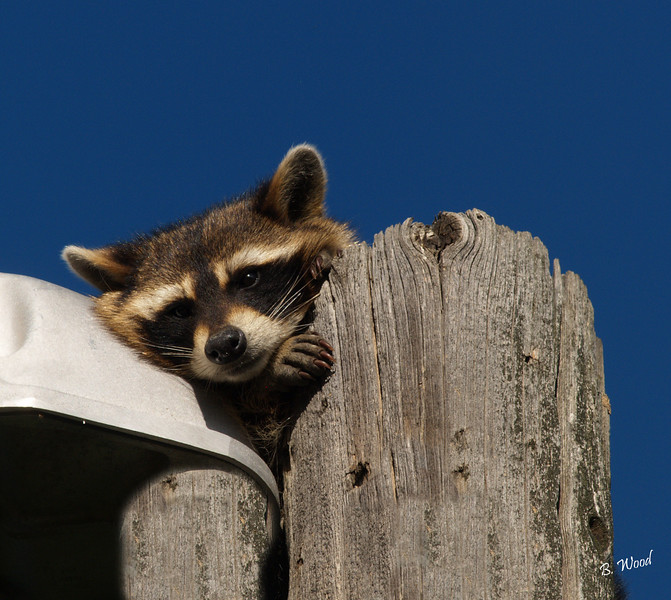 PL 07JU0266<br /> <br /> Common Raccoon (Procyon lotor).  Raccoons usually live together in small, loose groups. Their original habitats are mixed or deciduous forests, but due to their adaptability, they are often found in urban areas where they can be considered pests at times.