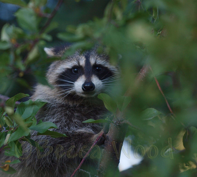 PL 09SE9998<br /> <br /> Common Raccoon (Procyon lotor).  The most distiguishable charateristics of the raccoon are its black mask across the eyes and bushy tail with anywhere from four to ten black rings. The forepaws resemble slender human hands and make the raccoon unusually dextrous. Both their forepaws and hindpaws have five toes.