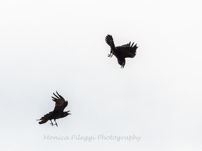 Raven 3 Nov 2018-4032