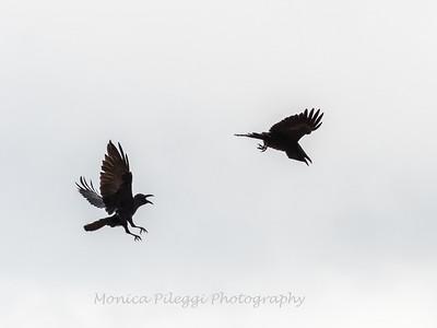 Raven 3 Nov 2018-4034