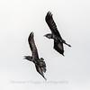 Raven 3 Nov 2018-4042