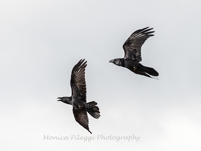 Raven 3 Nov 2018-4041
