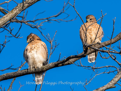 Red-Shoulder-Hawk-4-Feb-17-4634