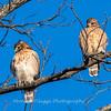 Red-Shoulder-Hawk-4-Feb-17-4634