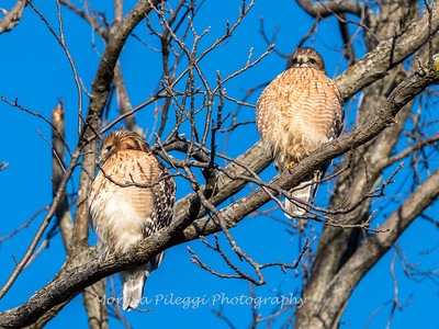 Red-Shoulder-Hawk-4-Feb-17-4653