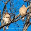 Red-Shoulder-Hawk-4-Feb-17-4653