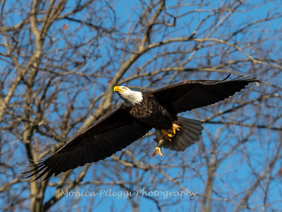 Conowingo Eagles-4 Feb 2017-4684