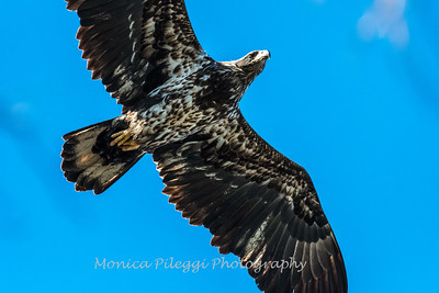Conowingo Eagles-4 Feb 2017-4903