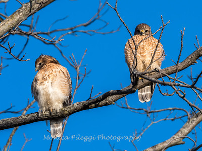 Red-Shoulder-Hawk-4-Feb-17-4640