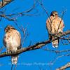 Red-Shoulder-Hawk-4-Feb-17-4640