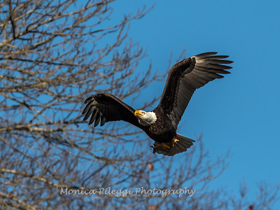 Conowingo Eagles-4 Feb 2017-4680