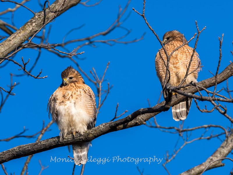 Red-Shoulder-Hawk-4-Feb-17-4624