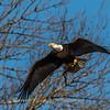 Conowingo Eagles-4 Feb 2017-4682