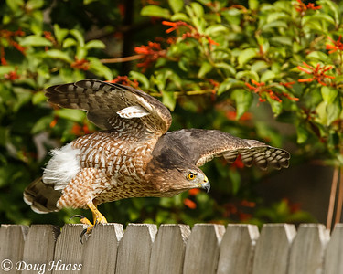 Cooper's Hawk Female Accipiter cooperii