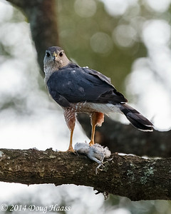 Adult Male Cooper's Hawk Accipiter cooperii