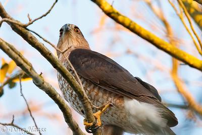 Cooper's Hawks Accipiter cooperii