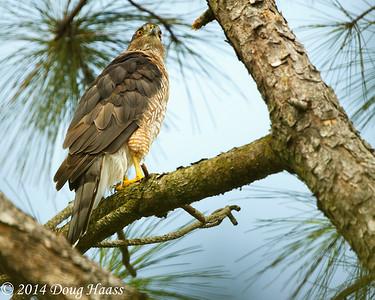 Adult Female Cooper's Hawk Accipiter cooperii