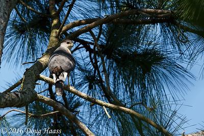 Cooper's Hawk Accipiter cooperii adult male