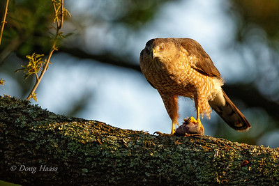 Cooper's Hawk female with her dinner 3/18/2018.  You can see her nictitating membrane over her left eye.