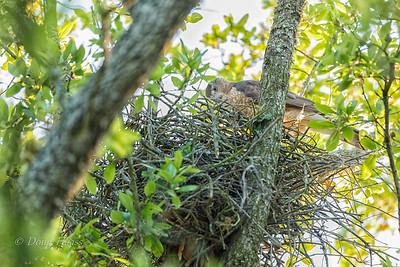 Cooper's Hawk Female tending the nest 3/22/2018