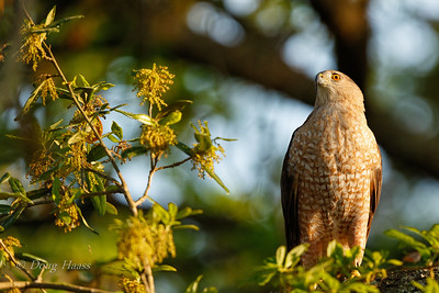 Cooper's Hawk female waiting on her dinner from the male 3/18/2018
