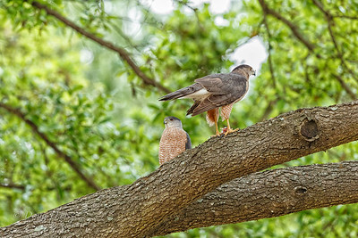 Cooper's Hawk (Accipiter cooperii) male (left, with red eyes) and female (with orange eyes)  3/24/2018