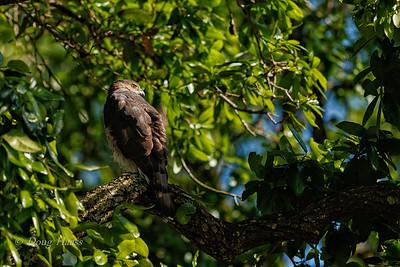 Cooper's Hawk Female 3/21/2018