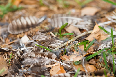 Eastern Screech Owl feathers  - adult male Cooper's Hawk made a meal of it 3/24/2019