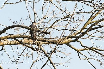 Adult male Cooper's Hawk 3/20/2019