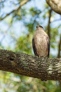 Adult female Cooper's Hawk 3/27/2019
