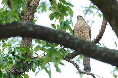 Adult female Cooper's Hawk 3/25/2019
