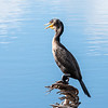 Cormorant January 2017-8948