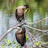 Cormorant January 2017-8941