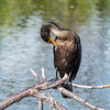 Cormorant January 2017-0535