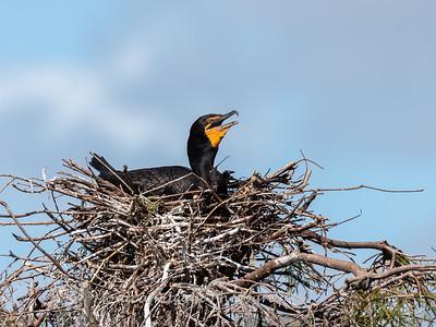 Cormorant January 2017-8915