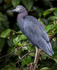 Little Blue Heron - Agujitas River, Osa Peninsula