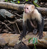 Caletas Reserve - Osa Peninsula - Capuchin Monkeys