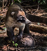 Manuel Antonio Park - White-nosed Coati
