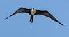 Magnificent Frigate Bird (Juvenile) - Golfo Dulce